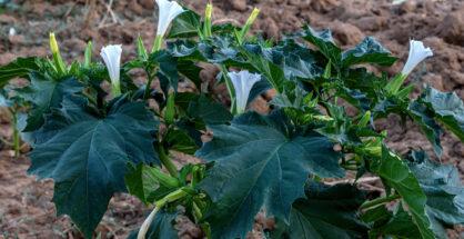 Una bellissima pianta di D. stramonium fotografata in agro di Matera